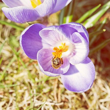 mellifera: Honey bee - Apis mellifera pollinate Crocus heuffelianus flower. Spring time scene. Yellow photo filter. Stock Photo