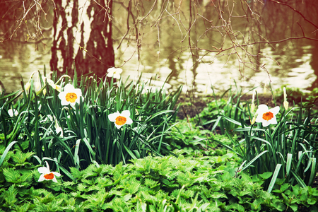 st jamess: White daffodils, nettle, and birch on the lake shore. Spring scene in the St. jamess park, London. Beauty photo filter.