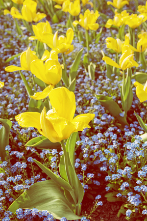 lighting background: Yellow tulips and forget-me-not flowers planted in the park. Springtime scene. Retro photo filter. Stock Photo