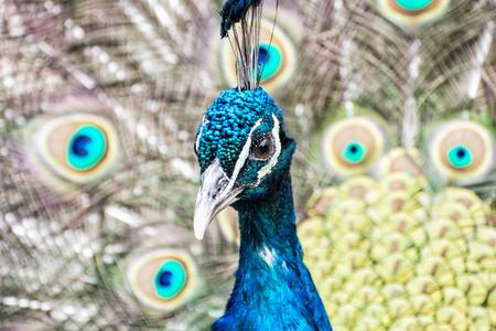 Indian peafowl - Pavo cristatus - male (peacock) displaying. Animal scene. Beauty in nature.