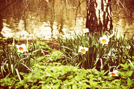 st jamess: White daffodils, nettle, and birch on the lake shore. Spring scene in the St. jamess park, London. Yellow photo filter.