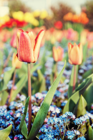 Red tulips and blue forget-me-not flowers planted in the park. Springtime scene. Beauty photo filter. Stock Photo