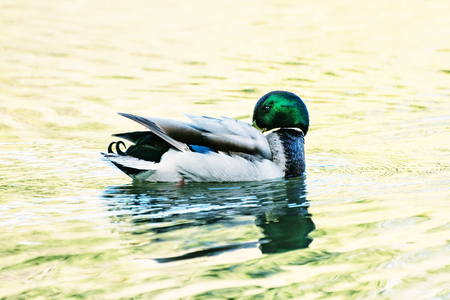 palmiped: Mallard duck - Anas platyrhynchos - swims in the lake. Bird scene. Reflections in water. Beauty photo filter. Stock Photo