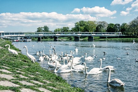slovak: Beautiful Swans – Cygnus on the river side with bridge, Piestany, Slovak republic. Natural scene. Travel destination. Blue photo filter. Stock Photo