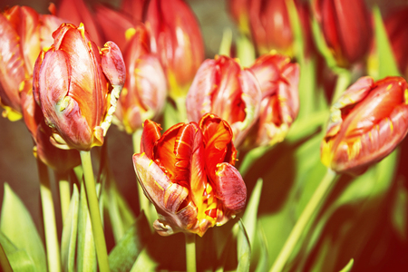 Beautiful red tulips in the garden. Spring theme. Seasonal natural scene. Yellow photo filter.
