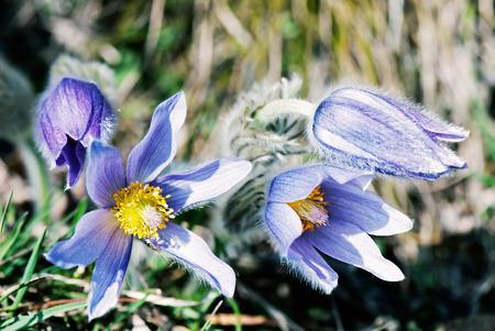 Pulsatilla slavica flower in spring meadow. Beauty photo filter. Seasonal natural scene. Stock Photo