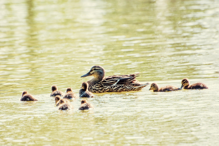 Beautiful wild Mallard duck with youngs – Anas platyrhynchos. Yellow photo filter. Detailed natural scene. Animal theme.