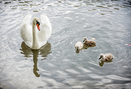 White mother swan swim with her youngs. Seasonal natural scene. Cycle of nature. Stock Photo