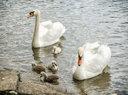 Swan parents with her youngs in the water. Seasonal natural scene. Cycle of nature.