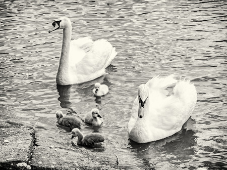 Swan parents with her youngs in the water. Seasonal natural scene. Cycle of nature. Black and white photo. Stock Photo