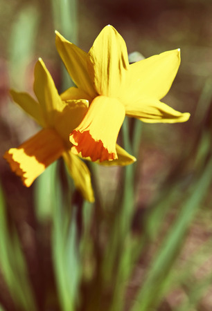 Yellow daffodils in the spring garden. Beauty photo filter. Seasonal natural scene. Stock Photo