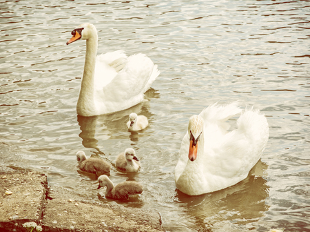 Swan parents with her youngs in the water. Seasonal natural scene. Cycle of nature. Yellow photo filter.
