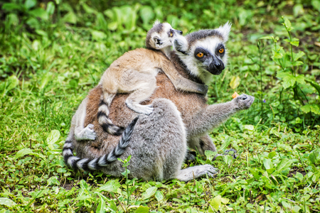 Ring-tailed lemur - Lemur catta - with cubs in the greenery. Animal scene. Animals playing. Beauty in nature. Stok Fotoğraf