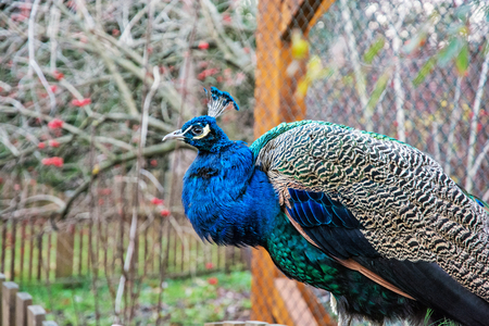 Beautiful Indian peafowl - Pavo cristatus - posing in the park. Beauty in nature. Coloured bird. Head with crown. Stock Photo