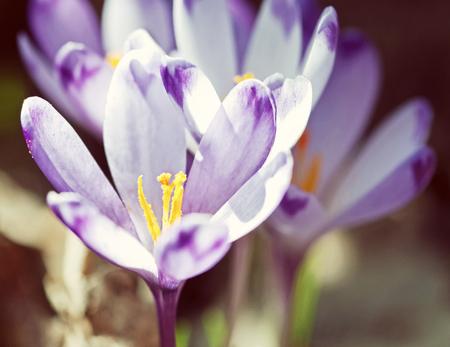 Purple crocus flowers - crocus heuffelianus in the spring meadow. Seasonal natural scene. Yellow photo filter.