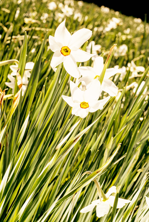 White narcissus flowers in a spring garden. Vertical composition. Seasonal natural scene. Yellow photo filter.