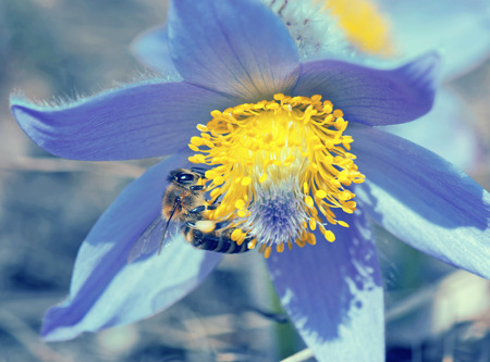 Bee (Apis mellifera) pollinate pulsatilla flower (Pulsatilla slavica). Bee and flower. Blue photo filter.