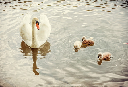 White mother swan swim with her youngs. Seasonal natural scene. Cycle of nature. Yellow photo filter. Stock Photo