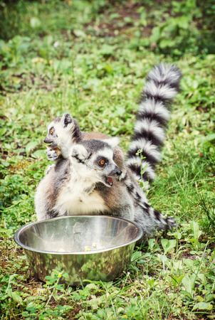 Ring-tailed lemur - Lemur catta - with cub are fed from the bowl. Beauty in nature. Animals in captivity. Yellow photo filter.
