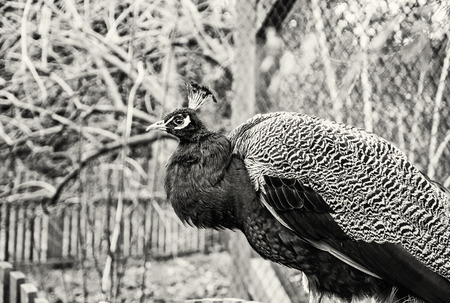 Beautiful Indian peafowl - Pavo cristatus - posing in the park. Beauty in nature. Coloured bird. Head with crown. Black and white photo. Stock Photo