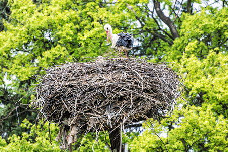 Family of White stork - Ciconia ciconia - in the nest. Bird watching. Red beak. Birds nest.