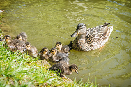 Wild Mallard duck with youngs – Anas platyrhynchos in the water. Beauty in nature. Spring time. Birds scene. Young ones.