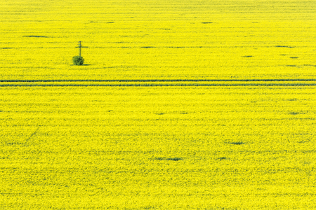 Flowering rapeseed field in spring time. Agricultural theme. Oilseed rape. Stock Photo