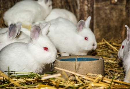 Beautiful white rabbits. Animal portrait. Big ears and red eyes. Little white bunnies.