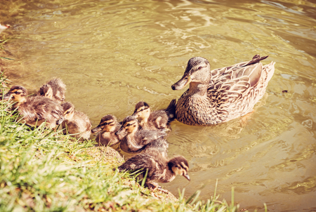 Wild Mallard duck with youngs – Anas platyrhynchos in the water. Beauty in nature. Spring time. Birds scene. Young ones. Red photo filter.