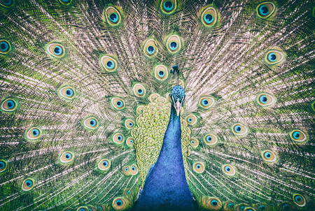 Indian peafowl - Pavo cristatus displaying. Animal scene. Beauty in nature. Analog photo filter with scratches.