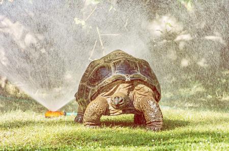 Galapagos giant tortoise - Chelonoidis nigra and garden water sprayer. Largest living species of turtle. Animal scene. Yellow photo filter.
