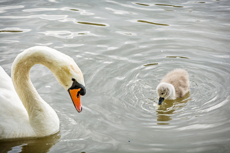 White mother swan swim with her young. Seasonal natural scene. Cycle of nature.