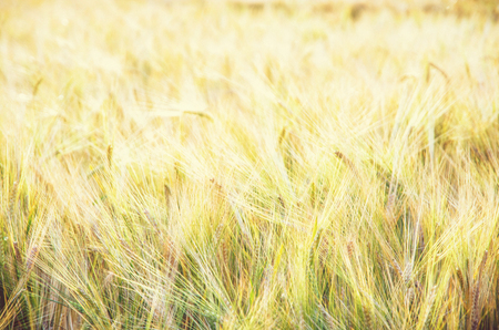 Yellow wheat field. Seasonal natural scene. Agricultural theme. Beauty photo filter. Stock Photo