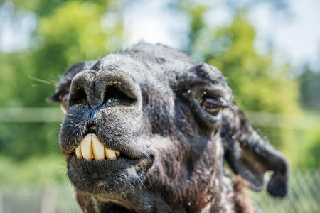 Portrait of llama with funny teeth. Animal scene. Stock Photo