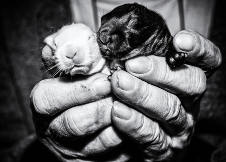 Beautiful little black and white rabbits on the hands. Little bunnies. Animal farm. Black and white photo. Stok Fotoğraf