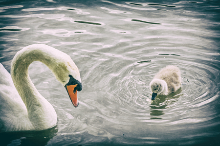 White mother swan swim with her young. Seasonal natural scene. Cycle of nature. Analog photo filter with scratches. Stock Photo