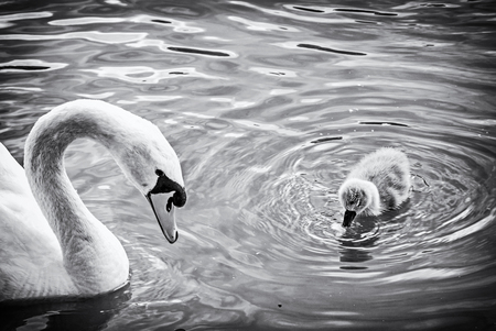 White mother swan swim with her young. Seasonal natural scene. Cycle of nature. Black and white photo.