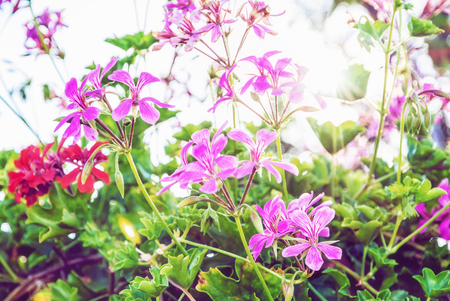 Purple and red Pelargonium flowers - Pelargonium hortorum - in the garden. Natural scene. Beauty in nature. Retro photo filter. Stock Photo