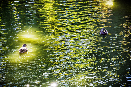 Mallard ducks with reflections in the lake. Natural scene. Beauty in nature. Stock Photo