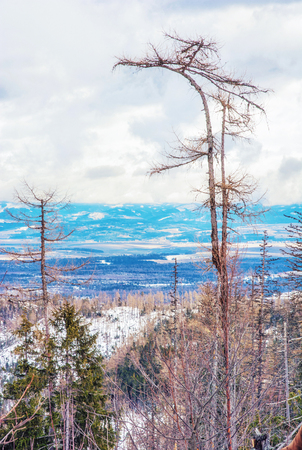 Spruce forest after natural disaster in High Tatras mountains, Slovak republic. Winter natural scene. Vivid photo filter. Stock Photo