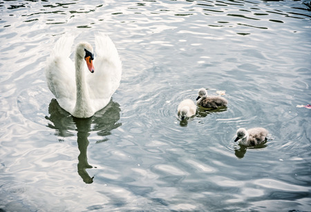 White mother swan swim with her youngs. Seasonal natural scene. Cycle of nature. Blue photo filter. Stok Fotoğraf