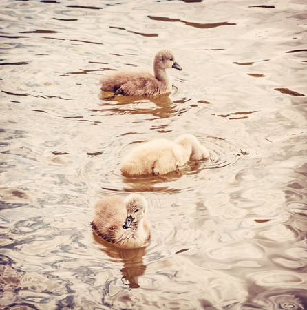 Young ones of white swan. Seasonal natural scene. Cycle of nature. Red photo filter.