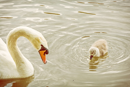 White mother swan swim with her young. Seasonal natural scene. Cycle of nature. Yellow photo filter.