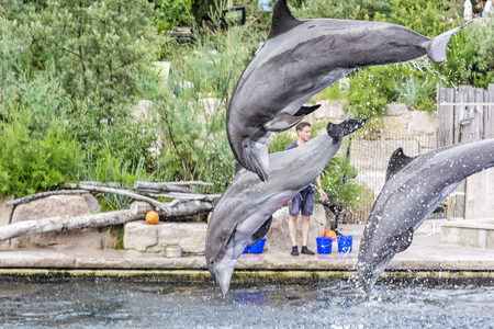 NUREMBERG, GERMANY – JULY 22, 2014: Show of trained dolphins in Nuremberg zoo, Germany. Illustrative editorial. Animal theme. Editorial