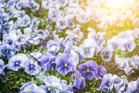 Blue pansies in the garden. Beauty in nature. Seasonal natural scene. Yellow sun rays. Stok Fotoğraf