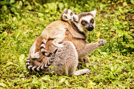 Ring-tailed lemur - Lemur catta - with cubs in the greenery. Animal scene. Animals playing. Beauty in nature. Yellow photo filter. Stok Fotoğraf