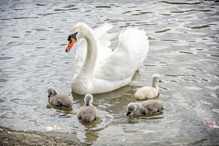 White mother swan swim with her youngs. Seasonal natural scene. Cycle of nature. Stok Fotoğraf