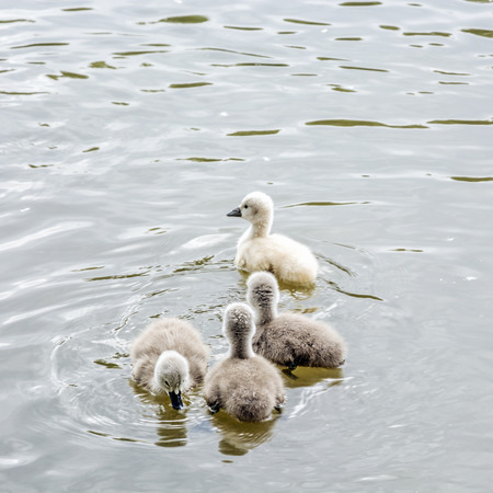 Young ones of white swan. Seasonal natural scene. Cycle of nature.