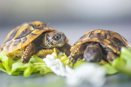 Hermanns Schildkröte - Testudo hermanni. Zwei Schildkröten fressen.