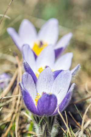 Greater Pasque Flower - Pulsatilla grandis, Nitra, Slovak republic. Seasonal natural scene.